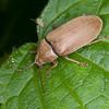 Orchid Beetle, Dascillus cervinus 5402