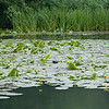 Yellow Water-lilies, Nuphar lutea on Woods Mill lake 5378