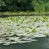 Yellow Water-lilies, Nuphar lutea on Woods Mill lake 5377