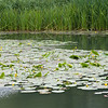 Yellow Water-lilies, Nuphar lutea on Woods Mill lake 5376