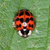 Harlequin Ladybird, Harmonia axyridis 5436