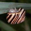 White-lipped Snail, Cepaea hortensis 5404