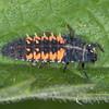 Harlequin Ladybird larva, Harmonia axyridis 5424