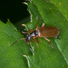 Soldier beetle, Cantharis decipens 5390