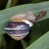 White-lipped Snail, Cepaea hortensis 5415