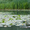 Yellow Water-lilies, Nuphar lutea on Woods Mill lake 5379