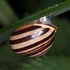 White-lipped Snail, Cepaea hortensis 5403