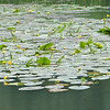 Yellow Water-lilies, Nuphar lutea on Woods Mill lake 5375