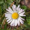 Daisy, Bellis perennis 4941