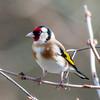 Goldfinch, Carduelis carduelis 4770