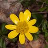 Lesser Celandine, Ranunculus ficaria 4829