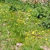 Lesser Celandines, Ranunculus ficaria 4940