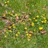 Lesser Celandines, Ranunculus ficaria 4930