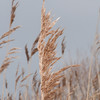 Common Reed, Phragmites australis 2825