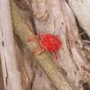 Velvet Mite, Trombidium holosericeum 7338