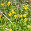 Lesser Celandine, Ranunculus ficaria 7276