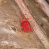 Velvet Mite, Trombidium holosericeum 7339