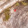 Velvet Mite, Trombidium holosericeum 7347