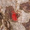 Velvet Mite, Trombidium holosericeum 7344