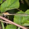 Blue-tailed Damselfly ♀, Ischnura elegans f rufescens 7993