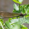 Beautiful Demoiselle ♀, Calopteryx virgo 8281