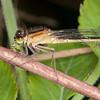 Blue-tailed Damselfly ♀, Ischnura elegans f rufescens 7989