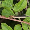Blue-tailed Damselfly ♀, Ischnura elegans f rufescens 7979