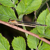 Blue-tailed Damselfly ♀, Ischnura elegans f rufescens 7982