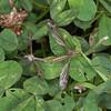 Craneflies mating, Tipula varipennis 8043