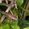 Dark Bush Cricket ♀, Pholidoptera griseoaptera 2348