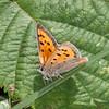 Small Copper, Lycaena phlaeas 2384