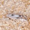 Poplar Bent-wing, Phyllocnistis unipunctella 2323