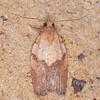Light Brown Apple Moth, Epiphyas postvittana 2339