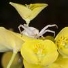 Crab Spider, Misumena vatia 9580