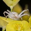 Crab Spider, Misumena vatia 9581