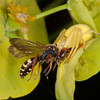 Crab Spider, Misumena vatia eating Cuckoo bee, Nomada species 9587