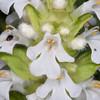 white Bugle, Ajuga reptans 9450