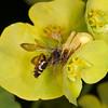 Crab Spider, Misumena vatia eating Cuckoo bee, Nomada species 9584