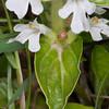 white Bugle, Ajuga reptans 9451