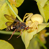 Crab Spider, Misumena vatia eating Cuckoo bee, Nomada species 9589