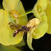 Crab Spider, Misumena vatia eating Cuckoo bee, Nomada species 9585