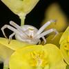 Crab Spider, Misumena vatia 9583