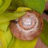 Smooth Glass Snail, Aegopinella nitidula 8115