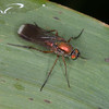 Semaphore Fly, Poecilobothrus nobilitatus 8800