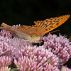 Silver-washed Fritillary, Argynnis paphia 8757
