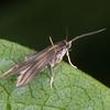 Bramble False-feather, Schreckensteinia festaliella 8785