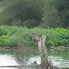 Kingfisher, Alcedo atthis from Scrape hide 0570