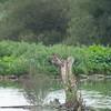 Kingfisher, Alcedo atthis from Scrape hide 0570