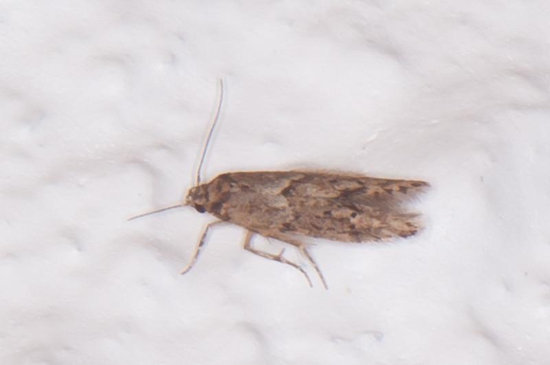Brown House Moth, Hofmannophila pseudospretella 0459