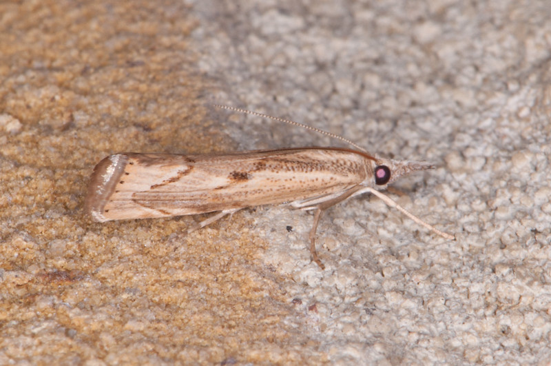 Elbow-stripe Grass-veneer, Agriphila geniculea 0386